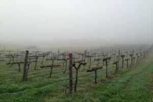 Vines-just-pruned